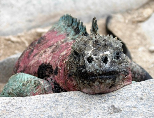 Communing with the Marine Iguanas