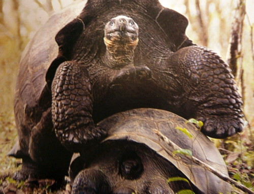 Watching the Giant Tortoises have fun
