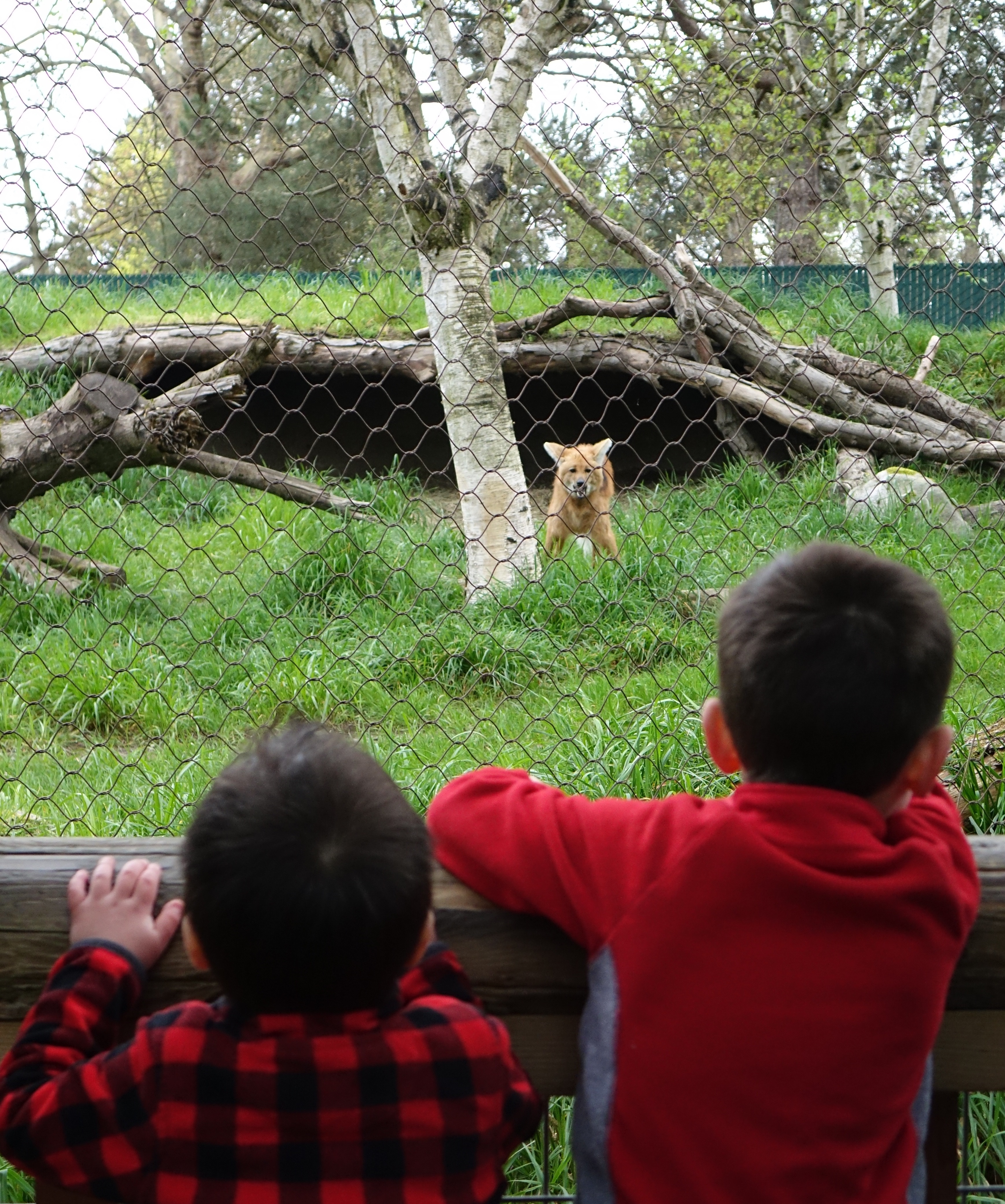 A red wolf stares down our spectators.