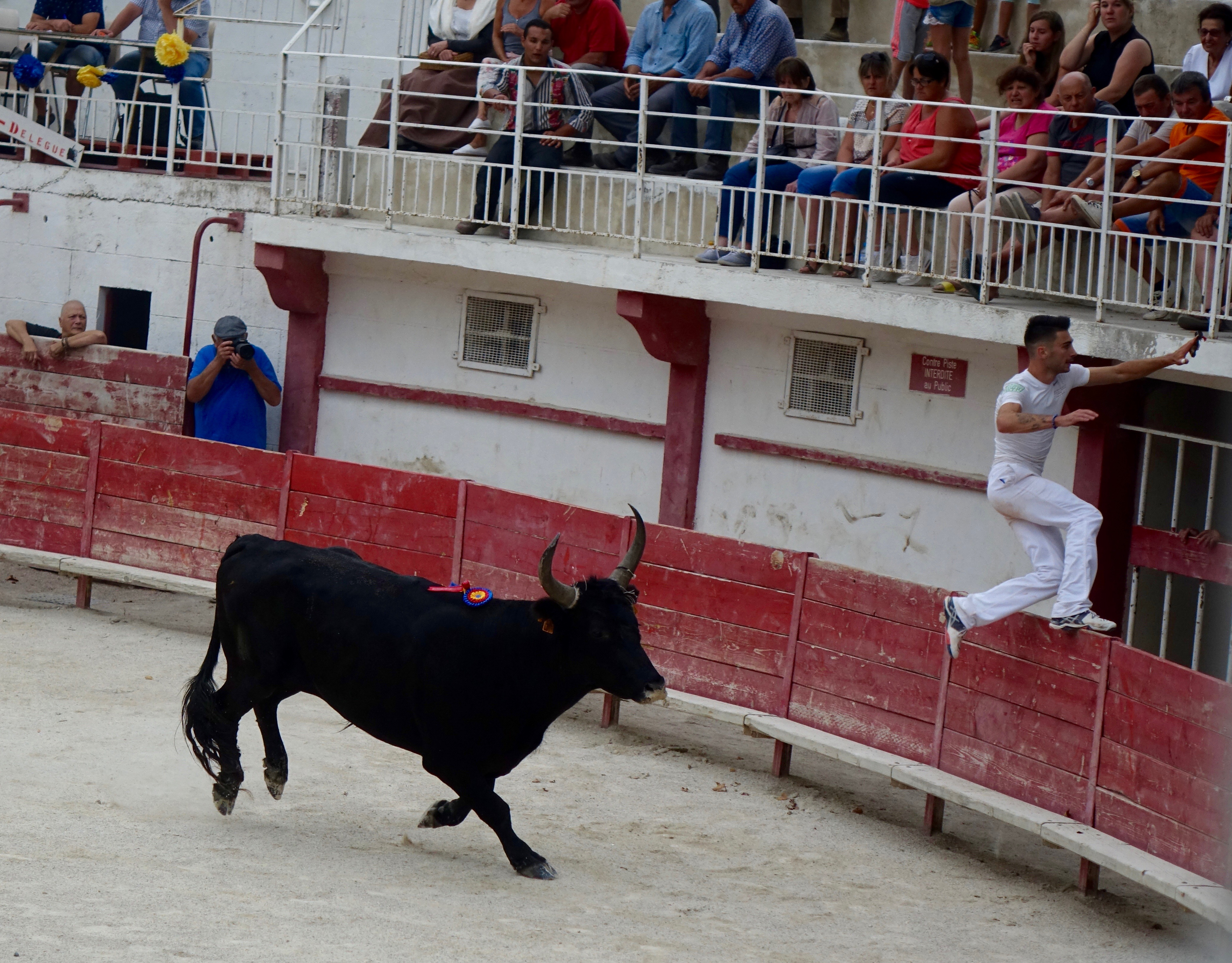 The bull's job is to chase away the cowboys.  The cowboy's job is to snatch the ribbon off the neck of the bull.