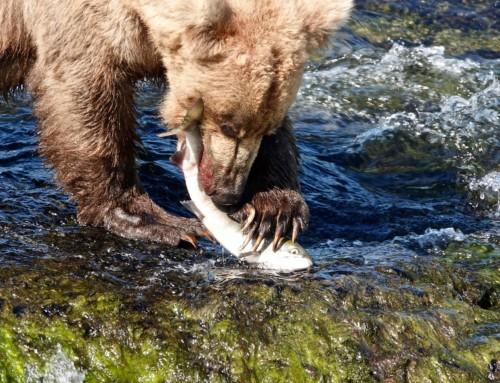 Brooks Falls, Katmai NP, Alaska